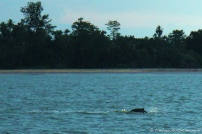 Irrawaddy Dolphin Watch!