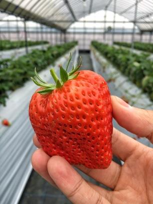 Kaonori Strawberry - Ichigokirari Farm, Fukuoka